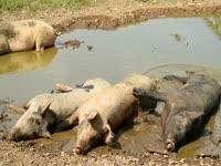 Animals: Pigs in Mud