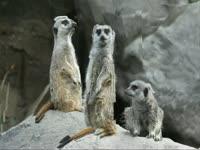 Morphing: Meerkats