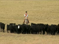 Tagged Videos: Cowboy Drives Cattle