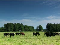 Tagged Videos: Grazing Cattle