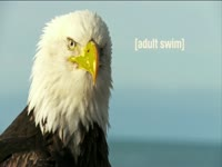 Tagged Videos: American Bald Eagle Head Shot