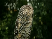 Tagged Videos: Barred Owl