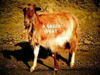 A Greek Goat