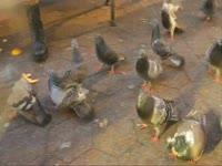 Owls: Feeding Pigeons