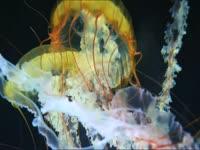 Jellyfish Wiggle Wit It