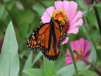 Tagged Videos: Monarch Butterfly