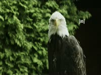 Tagged Videos: Bald Eagle Profile