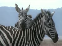 Tagged Videos: Cuddling Zebra