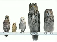 Tagged Videos: Group of Perched Owls